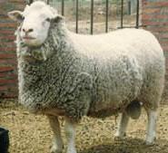 最低育肥波尔山羊养殖价格图片