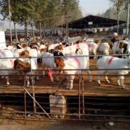 纯种波尔山羊最新的价格图片