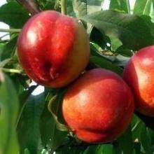供应陕西518油桃价格