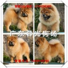 供应松狮幼犬广州松狮犬大概多少钱广州松狮犬价格暮光狗场图片