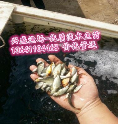 草鱼苗图片/草鱼苗样板图 (2)