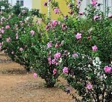 基地常年批发供应独杆木槿丛生木槿灌木木槿树苗批发