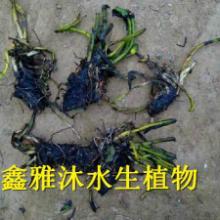 供应蚌埠睡莲种植,厂家种植荷花,种植芦苇,种植水葱,种植水生鸢尾,种植各种水生植物批发