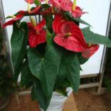 供应成都办公室植物鲜花租赁哪里最便宜