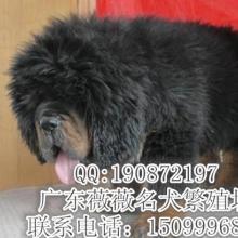 供应藏獒幼犬健康纯种藏獒犬批发