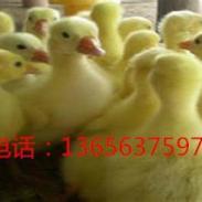 枣庄白鹅苗批发图片