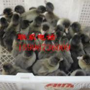 辽宁鸭苗价格图片