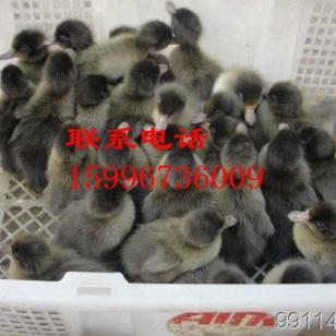 西藏鸭苗价格图片