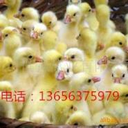 大种浙江白鹅图片