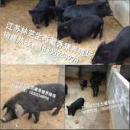 藏香猪图片