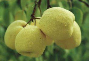 供应陕西砀山酥梨