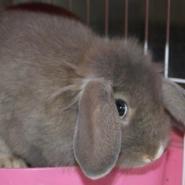 垂耳兔图片