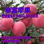 256矮化苹果苗-寒富苹果苗图片