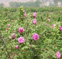 供应玫瑰干花蕾