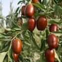 枣树苗什么品种成熟早图片