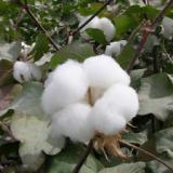 供应贵州哪家棉花好-佳人红新疆棉厂