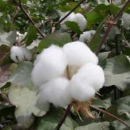 环保好价值高质量好-佳人红棉絮厂图片