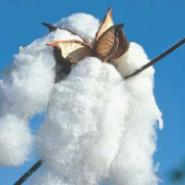贵阳高端长绒棉-高端新疆长绒棉图片