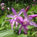 紫花大白芨图片