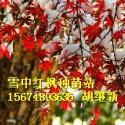 供应A11红枫,俄罗斯林业红枫三季红枫黄金枫种子,哈巴罗夫斯克红枫种苗