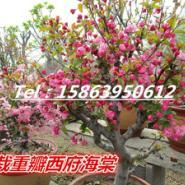 供应复色海棠盆景.长寿冠.银长寿图片