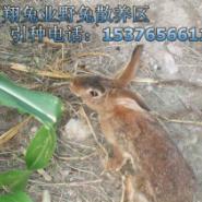 纯种野兔图片