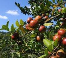 供应食品级纯天然绿色食用油【山茶油】
