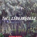 黄金垂柳大树.青垂图片
