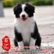 广州哪里有卖纯种边牧幼犬图片