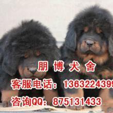 供应广州藏獒幼犬价格朋博出售纯种公母藏獒幼犬疫苗驱虫定时已做批发